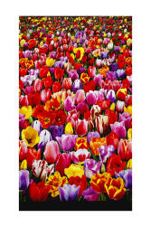 Tulips Digital Print Garden Double Border Multi Fabric