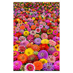 Zinnia Floral 24