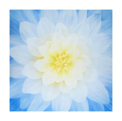 "Hoffman Digital Dream Big Flower 43""Panel French Blue"