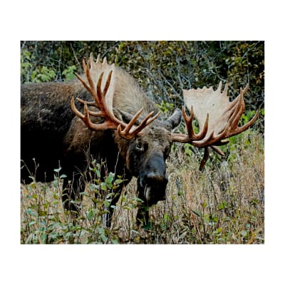 "Riley Blake King's Camo Moose 36"" Panel Multi"